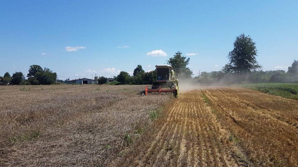 Kiša smanjuje kvalitet pšenice