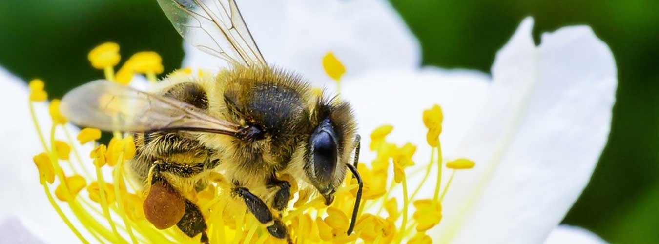 Svjetski dan pčela: čovječanstvo je na njihovim krilima